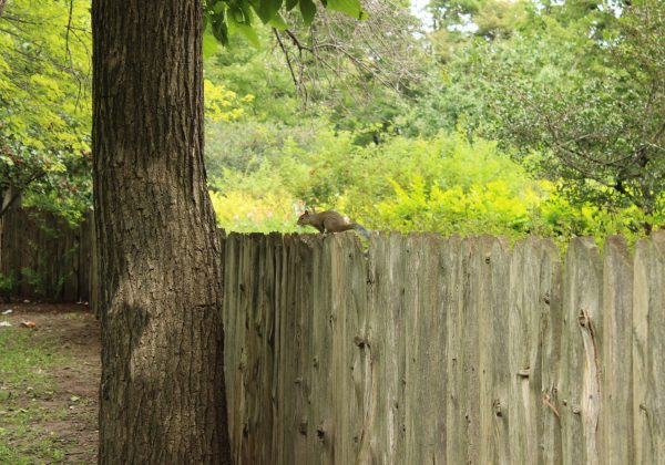 SQUIRREL_ON_FENCE